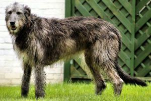 10 крупнейших пород собак