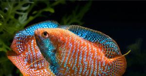 15 лучших аквариумных рыбок