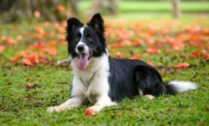 11 самых умных пород собак