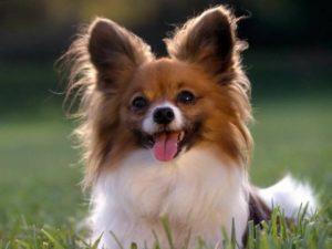 10 пород самых маленьких собак