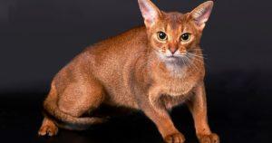 15 самых умных пород кошек